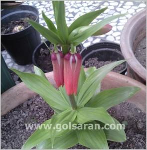 fritillaria-imperialis4