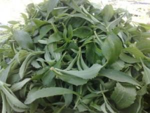 leaf stevia golsaran
