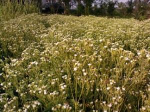 stevia flower golsaran
