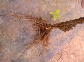 stevia root golsaran