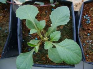 گیاهچه کوکب